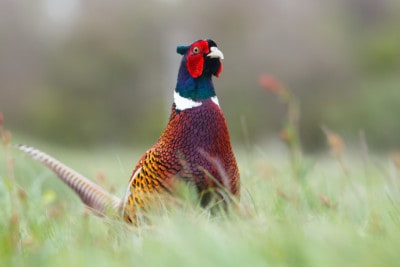 Pheasant hunting tips from the best hunters