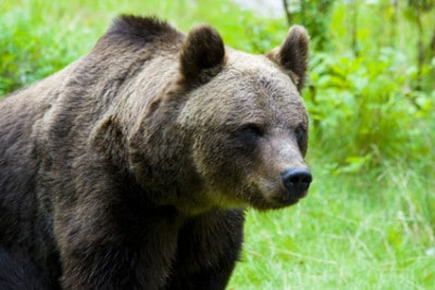 Bear Hunting Tips: How Do You Survive a Bear Attack?