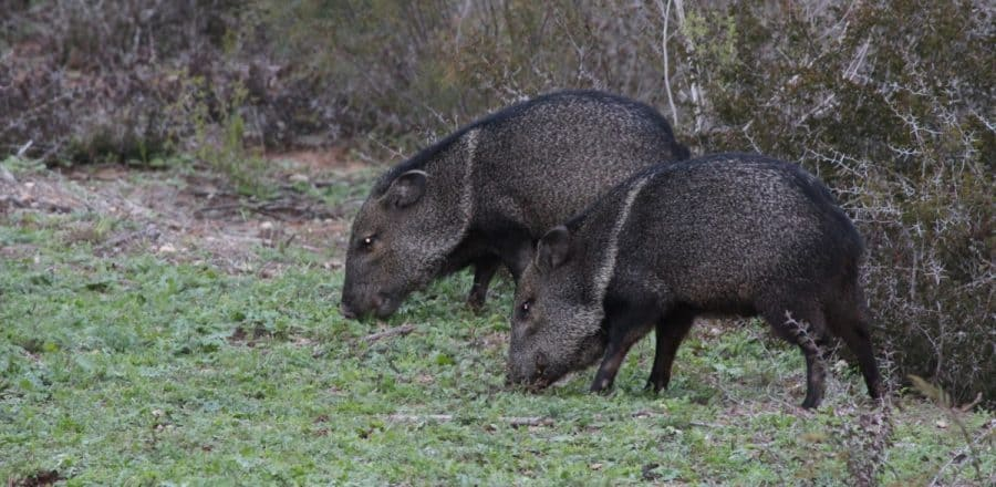 Top 10 States to Hunt Hogs in the USA