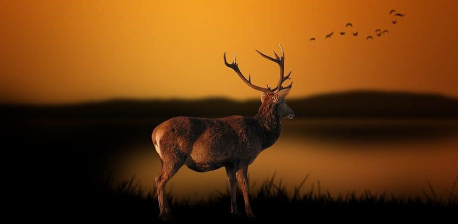 How to Hunt Deer That Are Coming In At Night
